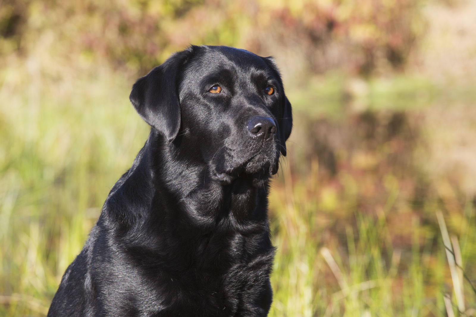 Labrador for Dog house for labrador retriever