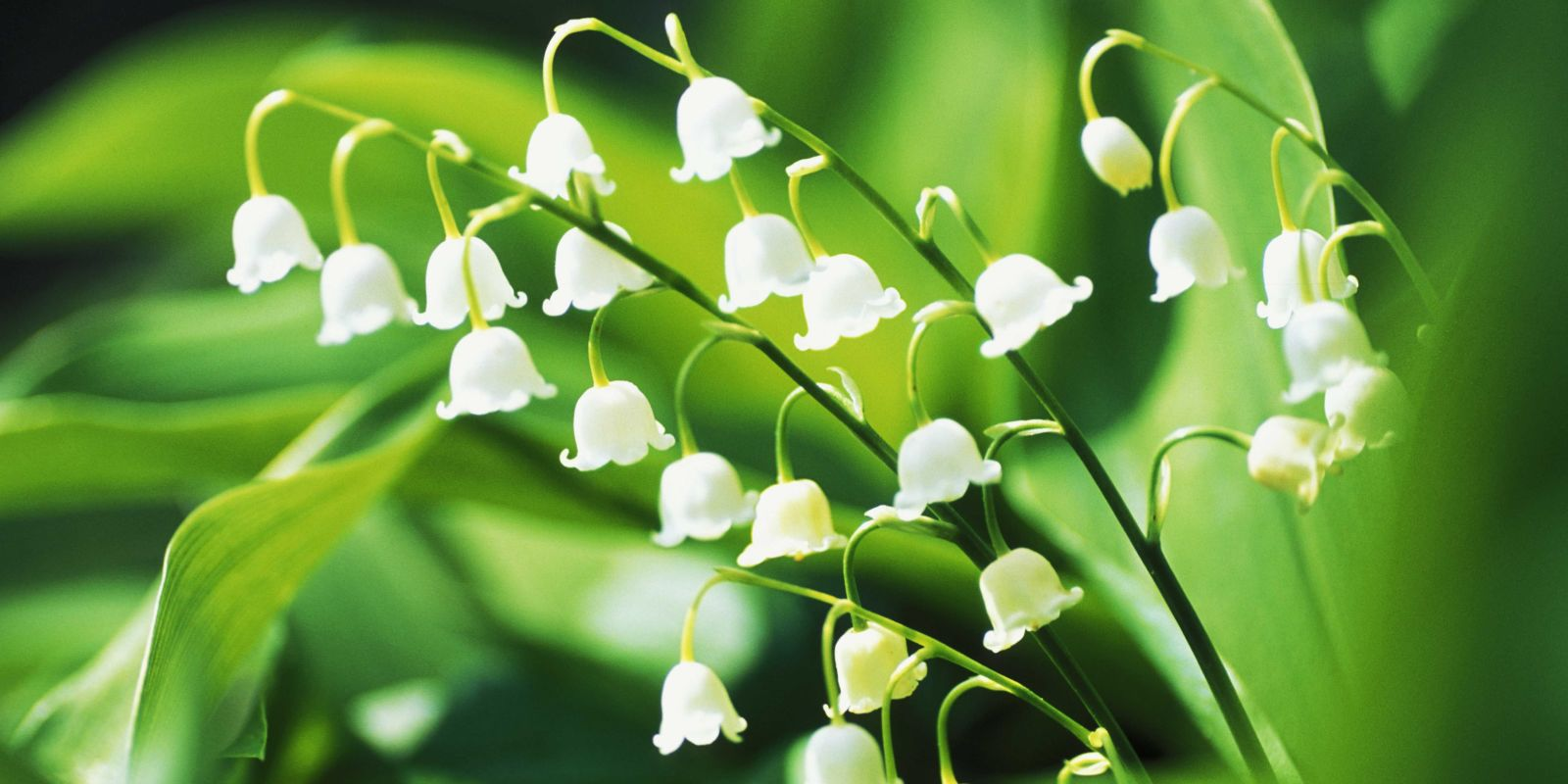 13 Things You Didn 39 T Know About Lily Of The Valley